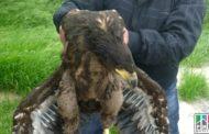 В Дагестане пресекли попытку продажи орла-белохвоста, занесенного в Красную книгу