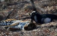 В парке, где живут тигр Амур и козел Тимур, снова включат веб-камеры