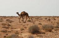 В Индии верблюд оторвал голову хозяину, оставившему его на привязи в жару
