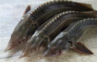 В Магарамкентском районе гражданин Азербайджана осужден за контрабанду особо ценных видов рыб