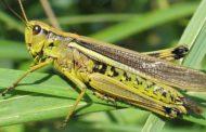 Свыше 39 тысяч гектаров охвачено саранчовыми вредителями в Дагестане