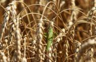 МЧС: В Дагестане продолжаются мероприятия по уничтожению саранчи