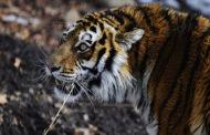 Тигра, нападавшего на домашний скот на юге Приморья, решено отловить
