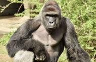 Директор зоопарка в Цинциннати: решение застрелить гориллу было верным