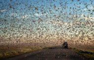На границе Калмыкии и Дагестана выявили личинки перелетной саранчи на площади 3 тысячи гектаров