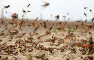 Площадь распространения саранчи в Дагестане увеличилась почти до 90 тыс. га