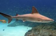 За неделю два человека стали жертвами нападения акул в Австралии