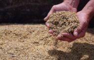 В Белгородской области Россельхознадзор выявил 745 тонн зараженного ячменя