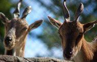 В калининградском зоопарке появились на свет краснокнижные козлы и туры