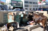 В столице Дагестана объявили охоту на бродячих коров