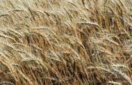 Минсельхоз США повысил оценку экспорта пшеницы из России