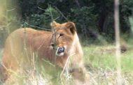 В Дагестане львица пасет овец