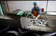 Долги привлекшего внимание Путина рыбокомбината превысили миллиард рублей
