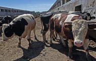 В Чечне распространяется эпидемия опасной для скота болезни