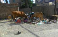 Коровы терроризируют столицу Дагестана (Видео)