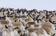 Тысяча оленей погибла на Ямале, причины выясняются