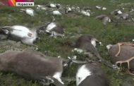 В Норвегии от удара молнии погибло стадо оленей