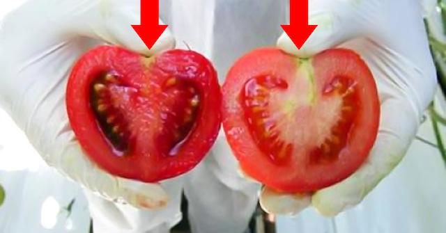 Каждый день мы едим яд! Вот как отличить помидоры с ГМО от натуральных…