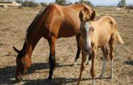 Рамазан Абдулатипов: ахалтекинских лошадей никто не съест!