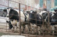 Вирус нодулярного дерматита выявлен в 27 населенных пунктах Дагестана