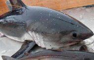 Дагестанские рыбаки выловили в море акулу и вырубили её битой (Видео)