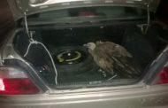 Полиция изъяла у жителя Избербаша хищную птицу, занесенную в Красную книгу