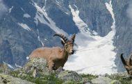 В Дагестане массово гибнут горные козлы (туры) (Видео)