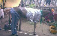 Сколько не сабантуй, из осла коня не сделать